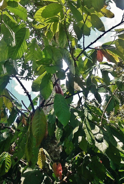 カカオの木